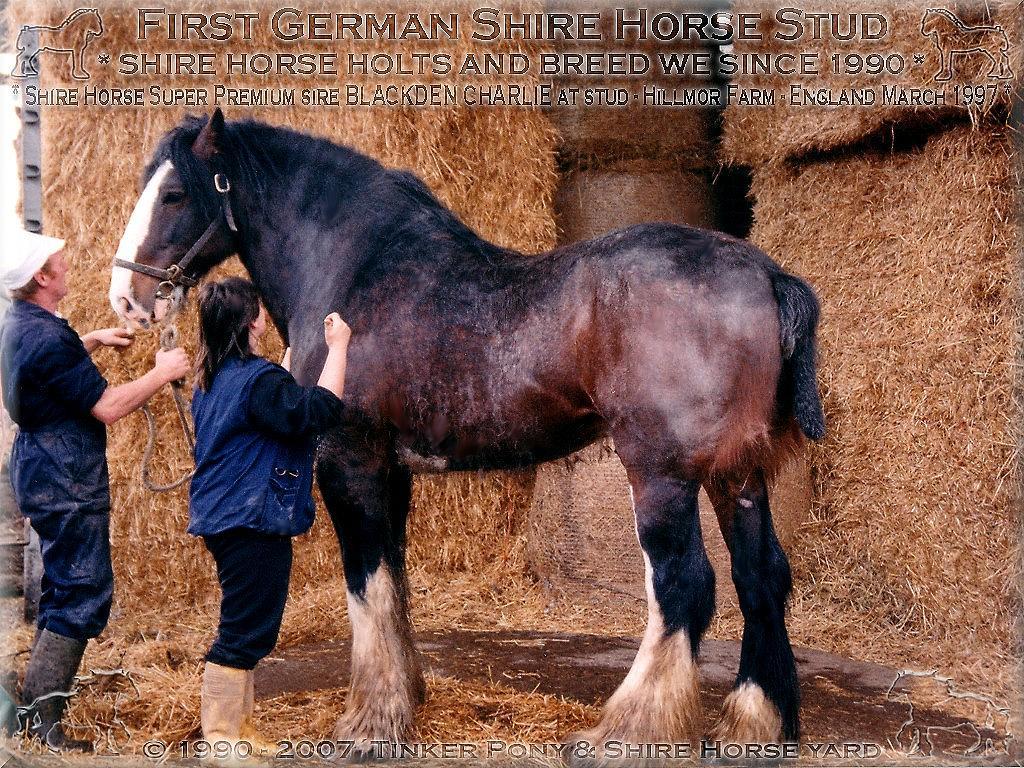 Shire Horse Super Premium Hengst Blackden Charlie auf Deckstadion, Hillmoor Farm von Philipp Moos, England im März 1997