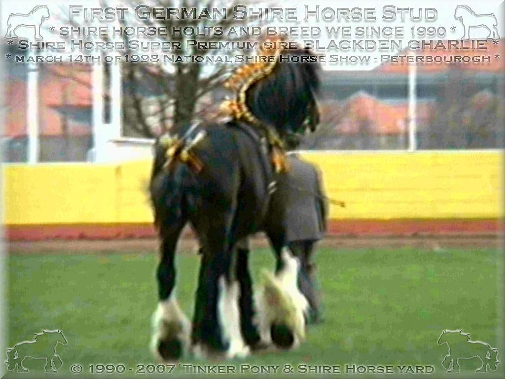 Herzlich Willkommen auf dem Tinker Pony & Shire Horse Hof - Mein dritter Shire Horse  Zuchthengst Sladbrook Select und  seine Familie, im April 2000