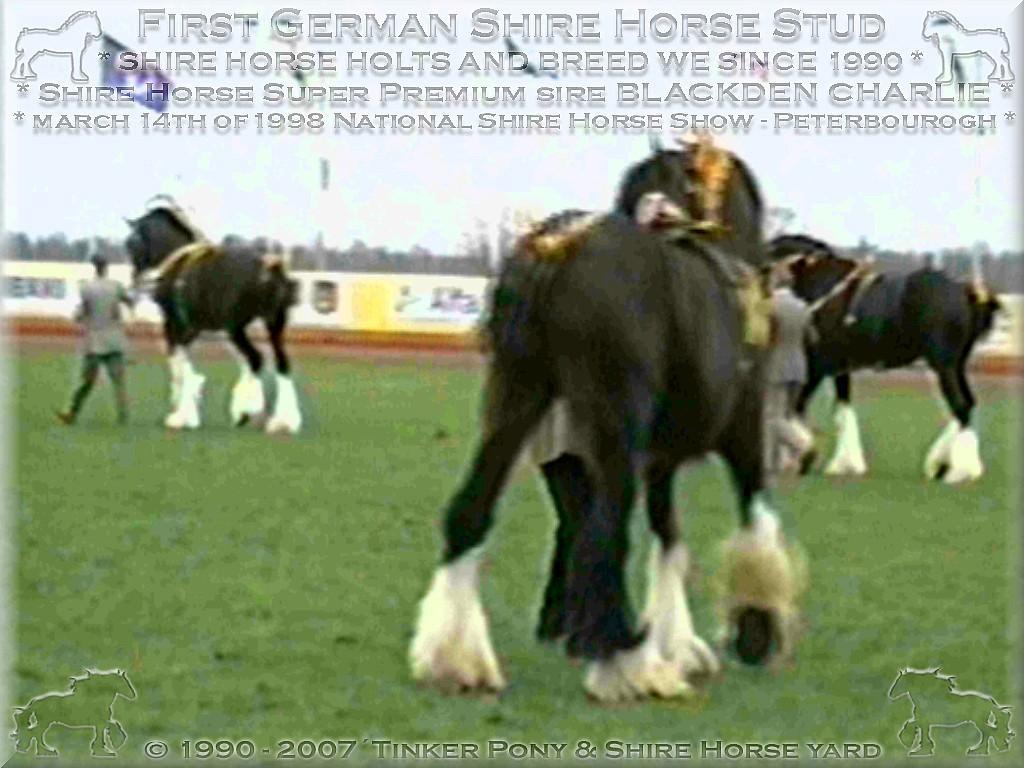 """Herzlich Willkommen auf dem Tinker Pony & Shire Horse Hof - Shire Horse """"Halbstarkenherde"""" beim Frühstück 2001 - auch wenn Dies Frau Dr. Jung überhaupt nicht passt! - schmeckt es hervorragend."""