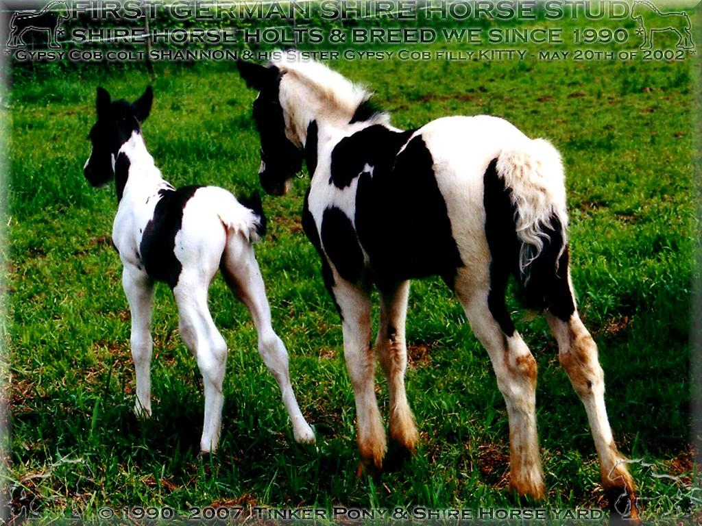 Gypsy Cob filly Kitty and His brother Shannon, May 20th of 2002