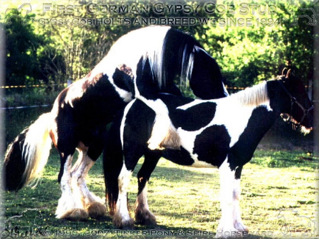 World-wide first Gypsy Cob admitted to the breeding, Tinker sire of the superlatives STRAINGER. Champion of Champions 2004 in USA