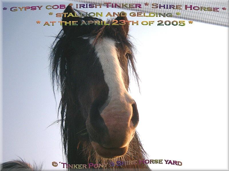 Herzlich Willkommen auf dem Tinker Pony & Shire Horse Hof - Shire Horse Hengst STANLEY am 23. April 2005 auf Seiner Weide im Pferdeparadies der Weils Glänzer Mühle, in Kirtorf