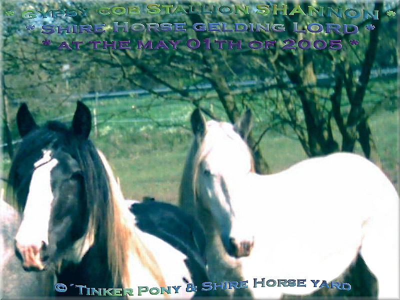 Heartily welcome on the former Gypsy Cob and Shire Horse yard. - Gypsy Cob - Tinker Stute Hengst SHANNON am 01. Mai 2005 auf Seiner Weide im Pferdeparadies der Weils Glänzer Mühle, in Kirtorf
