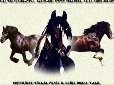 The worldwide King of Gypsy horse - irish Tinker, of the superlative international Champion of Champions sire in Europe and USA, STRAINGER & in the year 1994 the first official Gypsy sire worldwide