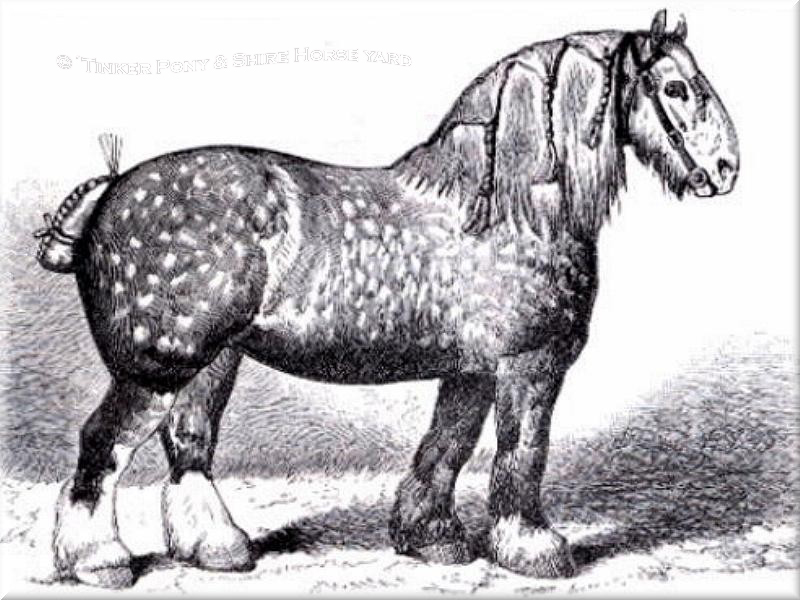 Heartily welcome on the Tinker pony and Shire Horse yard - We bring you the Shire Horse and his long story nearer.
