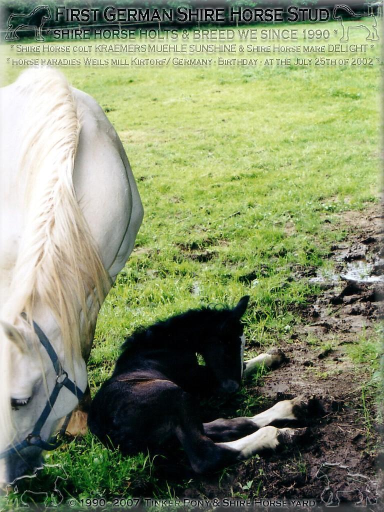 Herzlich Willkommen im Tinker Pony & Shire Horse Hof - Shire Horse Hengst KRAEMERS MUEHLE ACE