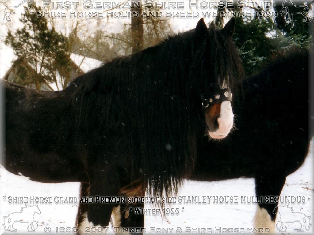 - Shire Horse, Shire Horse Herkunft, Shire Horse Zucht, Shire Horse Haltung, Shire Horse zuechten wir seit 1990.