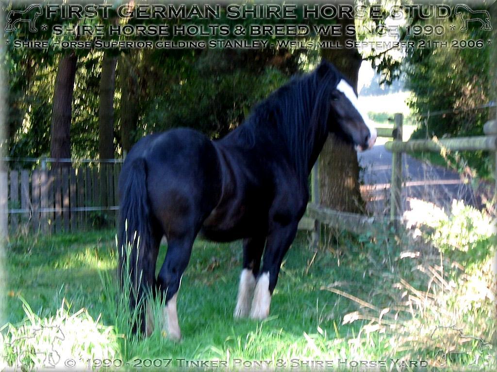 Cordialmente recepciones en la yarda del potro y casi del caballo del chapucero - Bienvenido al Tinker Pony y caballo de Shire granja - caballo de Shire, Dales Poni, Gypsy cob y el irlandés tinker, cría y actitud desde 1990.