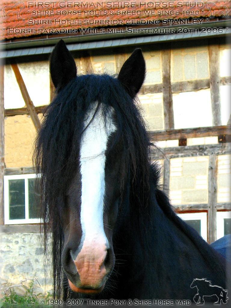 Mein 3. <b>Shire Horse Zuchthengst</b> SLADBROOK SELECT Stud Book No 46671, im Mai 1997 - im Pferdeparadies des Rittergutes Lehrbach.