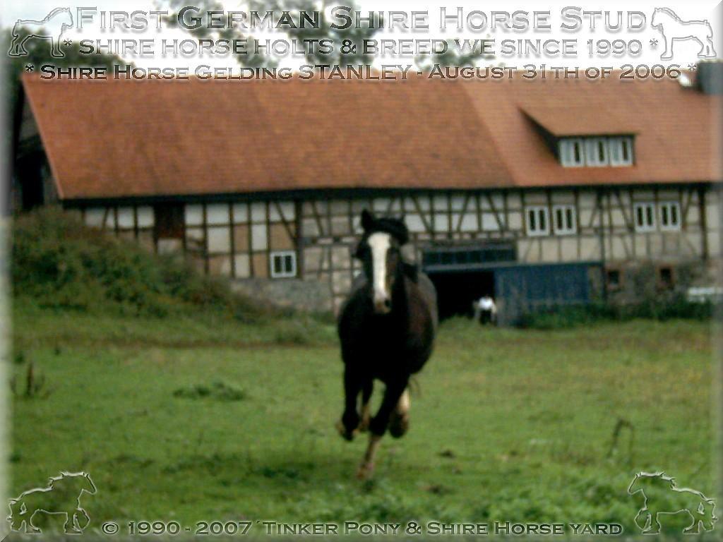 Herzlich Willkommen auf dem Tinker Pony & Shire Horse Hof - Shire Horse Hengst STANLEY am 26. Mai 2005 - auf einer Seinerzahlreichen Weiden im Pferdeparadies Kirtorf