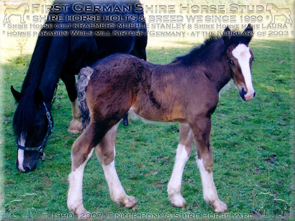 Herzlich Willkommen auf dem Tinker Pony & Shire Horse Hof - Meine fünfte <b>Shire Horse Zuchtstute</b> Wild Shadow Laura, am 17. August 2001. mit dem Shire Horse Hengstfohlen Kraemers Muehle Lord, auf den Weiden des Rittergutes Lehrbach.
