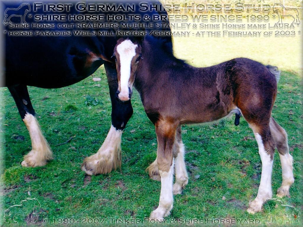 Shire Horse-, Dales Pony- und Gypsy Cob-irish Tinker Zucht und Haltung, seit 1990.