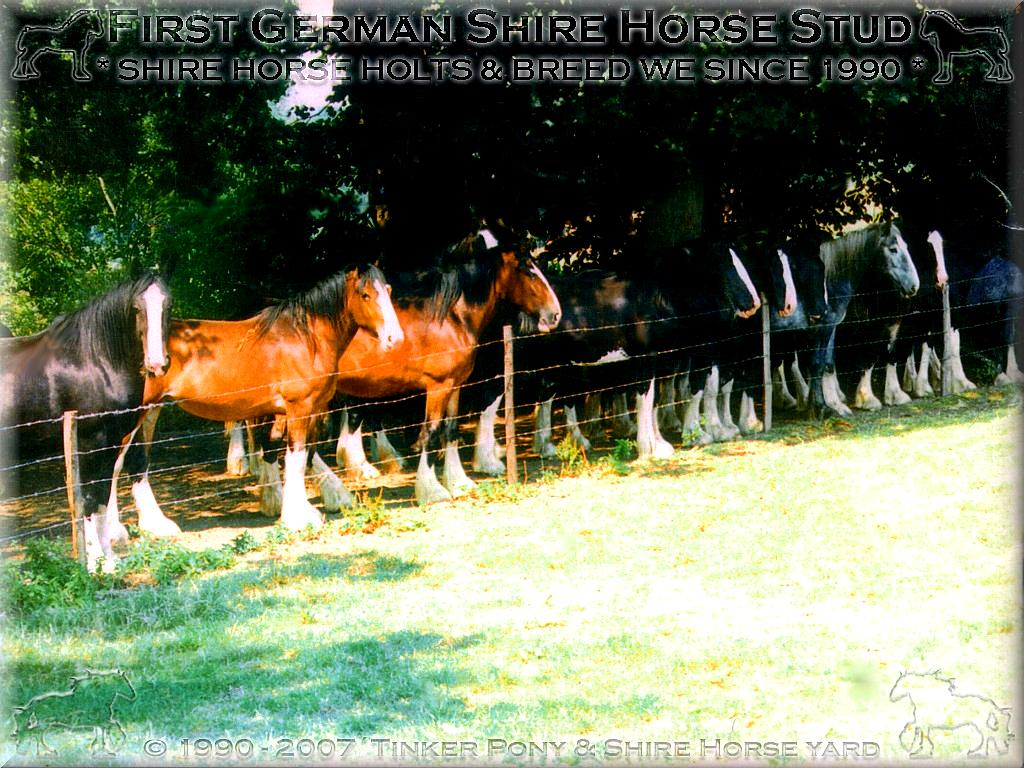 Shire Horse gelding * the for the race of the Shire Horse exemplary * Kramers Muehle Happy Jack - Champion of Champions of Show, in September 1997, in Darmstadt-Kranichstein - Germany.(Champion of Champions of Show - also if the poor Mrs. Dr. Jutta Söntgen (Jung) here-at almost before fury the hit met!)