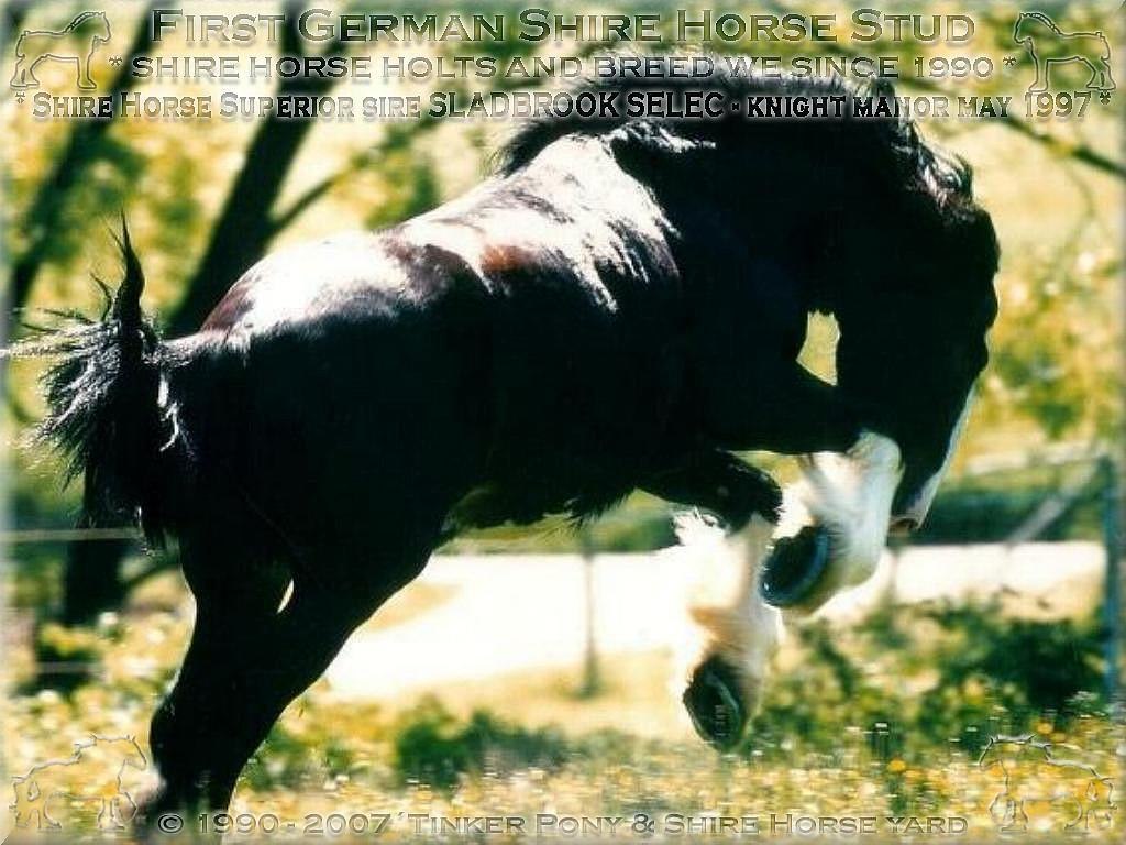 Herzlich Willkommen auf dem Tinker Pony & Shire Horse Hof - Mein dritter, vom <b>Deutschen Shire Horse Verein e.V.</b> zum Eunuchen gemachter <b>Shire Horse Zuchthengst</b>, der einmalige Shire Horse sire Sladbrook Select - Stud book no 46671, im Mai 1997 auf den Weiden des Ritterguts Lehrbach in Kirtorf.