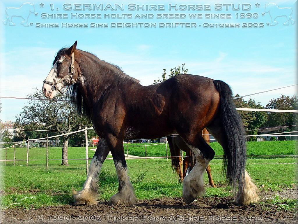 Herzlich Willkommen auf dem Tinker Pony & Shire Horse Hof - Der liebenswerte <b>Shire Horse Zuchthengstes</b> SLADBROOK SELECT Stud Book No 46671 verbeugt sich - in der kleinen mittelenglischen Stadt Peterborough, um 12:00 Uhr - unmittelbar nach dem traditionellen Dankgottedienst der <b>Shire Horse Society</b> - am Sonntag dem 15. März 1998 - im Mainring, vor seinem Präsentationsauftritt - vor den skrupellosen Killern seiner ungeborenen Nachkommen.