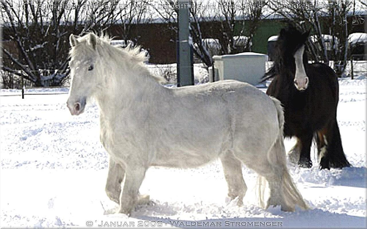Welcome to the Tinker pony & Shire horse farm - Shire horse breeding and Shire horse stance. Shire horse breed we privately since 1990 and also horses and ponies, Gypsy Cob, Tinker, Dales ponies, Friesians, of English and Irish descent.