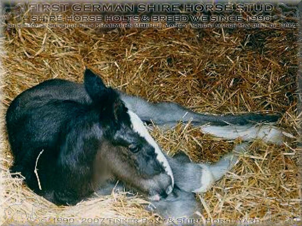 Die Shire Horse Stute KRAEMER`S MUEHLE MARCY war im Jahr 1997, am ersten Septemberwochenende auf der Shire Horse Schau des <b>Deutschen Shire Horse Verein e.V.</b> in Darmstadt-Kranichstein, das deutsche Shire Horse Bundessiegestutfohlen ihres Jahrgangs