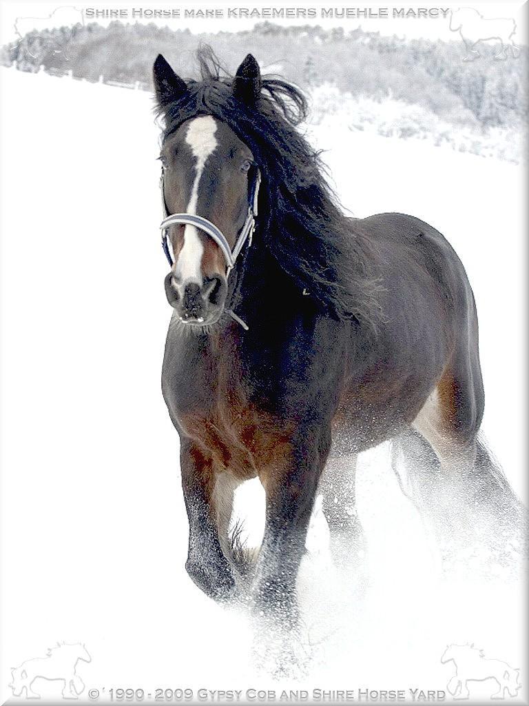 Die Shire Horse Stute KRAEMER`S MUEHLE MARCY, am 25. November 2005