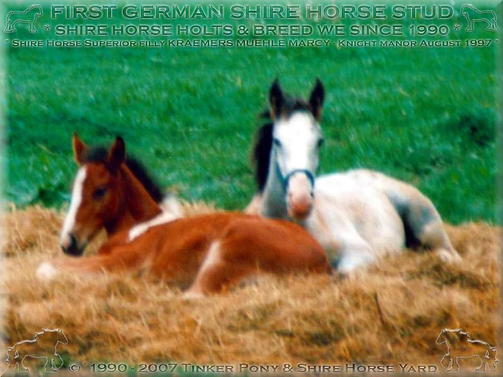 Herzlich Willkommen auf dem Tinker Pony & Shire Horse Hof - Meine <b>Shire Horse Fohlen</b> des jahrgangs 1997: Shire Horse Stutfohlen Kramers Muehle Discovery, Shire Horse Stutfohlen Kraemers Muehle Marcy, Shire Horse Hengstfohlen Kraemers Muehle Emercency im August 1997, im Pferdeparadies des Ritterguts Lehrbach.