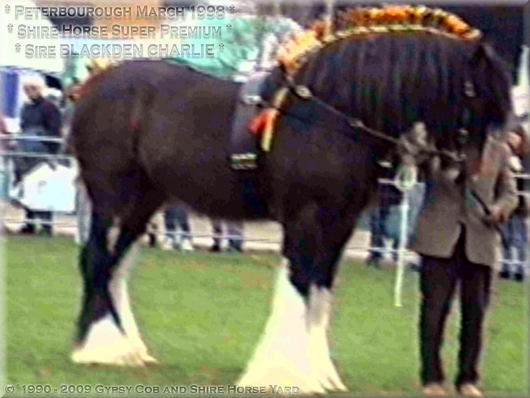 Shire Horse, Shire Horse la cour, Shire Horse la position, Shire Horse l'élevage depuis 1990