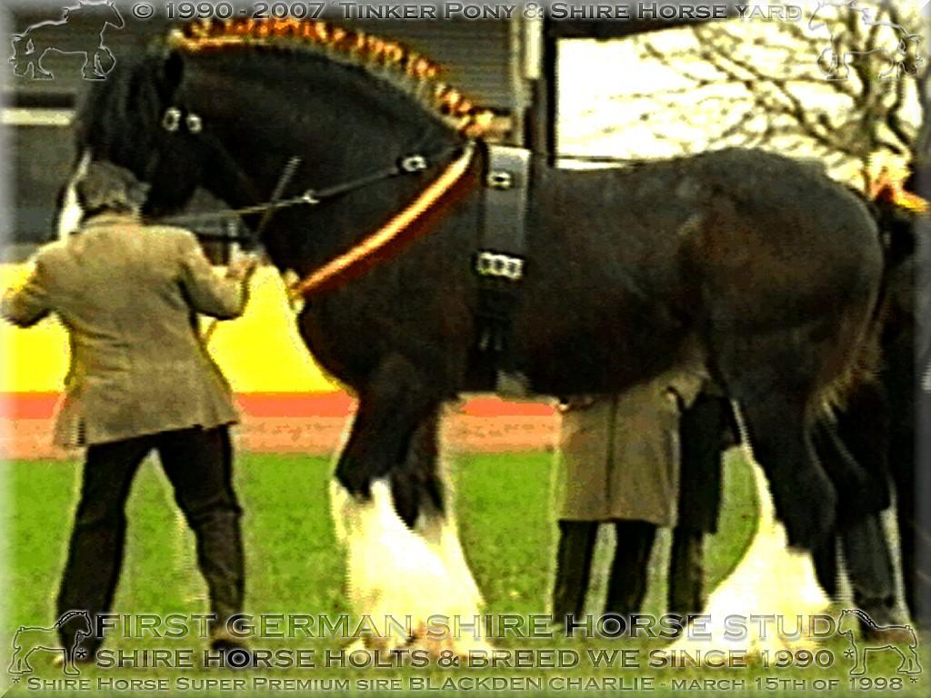 Shire Horse Wallach Sladbrook Enterprise, Sieger der Shire Horse Wallache 1996, präsentiert von Catwin Salde.