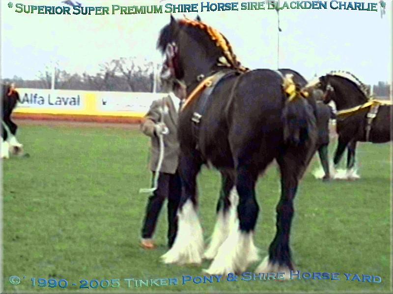 Heartily welcome on the former Gypsy Cob and Shire Horse yard. - Shire Horse Super Premium sire Blackden Charlie - einer der berühmten Grossvaeter unserer Shire Horse Zucht, am 14.03.98 in Peterbourogh