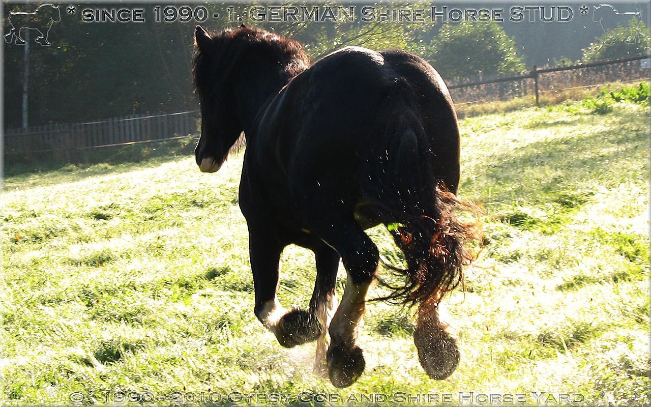 Cordialement bienvenue sur l'ancien Gypsy Cob and Shire Horse yard.