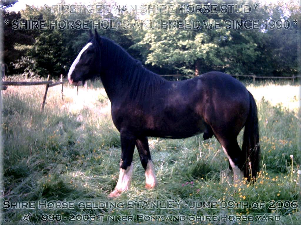 """Herzlich Willkommen auf dem Tinker Pony & Shire Horse Hof - Auf den Fotos sehen Sie den """"seit 1996 unerwünschten, aktuellen Müll"""" des <b>Deutschen Shire Horse Verein e.V.</b>! - den <b>Shire Horse Hengst</b> KRAEMERS MUEHLE STANLEYund den Shire Horse Hengst Kraemers Muehle Sunshine am 08. Juni 2005, auf einer Ihrer zahlreichen Weiden, im Pferdeparadies der Weils Mühle in Kirtorf"""