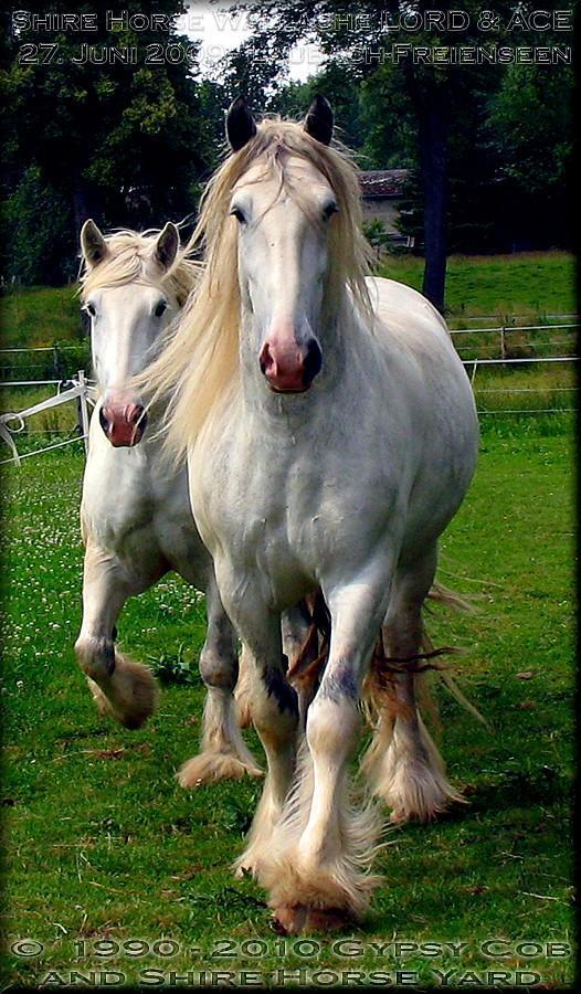 Der Grey Shire Horse Wallach KRAEMERS MUEHLE LORD wurde erst 8 Jahre alt, Anfang November 2009, unnötig abgeschlachtet!