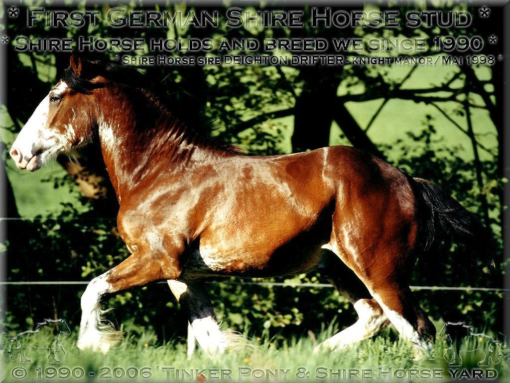 Herzlich Willkommen auf dem Tinker Pony & Shire Horse Hof - Mein 5. Shire Horse Zuchthengst DEIGHTON DRIFTER.