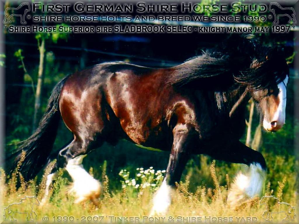 Mein dritter <b>Shire Horse Zuchthengst</b>, der sensationelle Shire Horse sire SLADBROOK SELECT Stud Book No 46671, rein privat - im Mai 1997 auf dem Rittergut in Lehrbach.