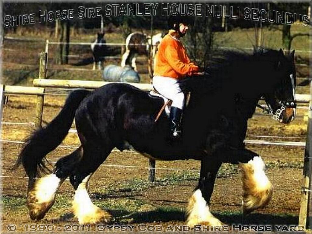 Heartily welcome on the former Gypsy Cob and Shire Horse yard. - Shire Horse Zuchthengst Stanley House Nulli Secundus - das Ebenbild ist oben sein Urenkel der Shire Horse Hengst STANLEY im August 1996, auf dem Reitplatz des Ritterguts-Lehrbach.