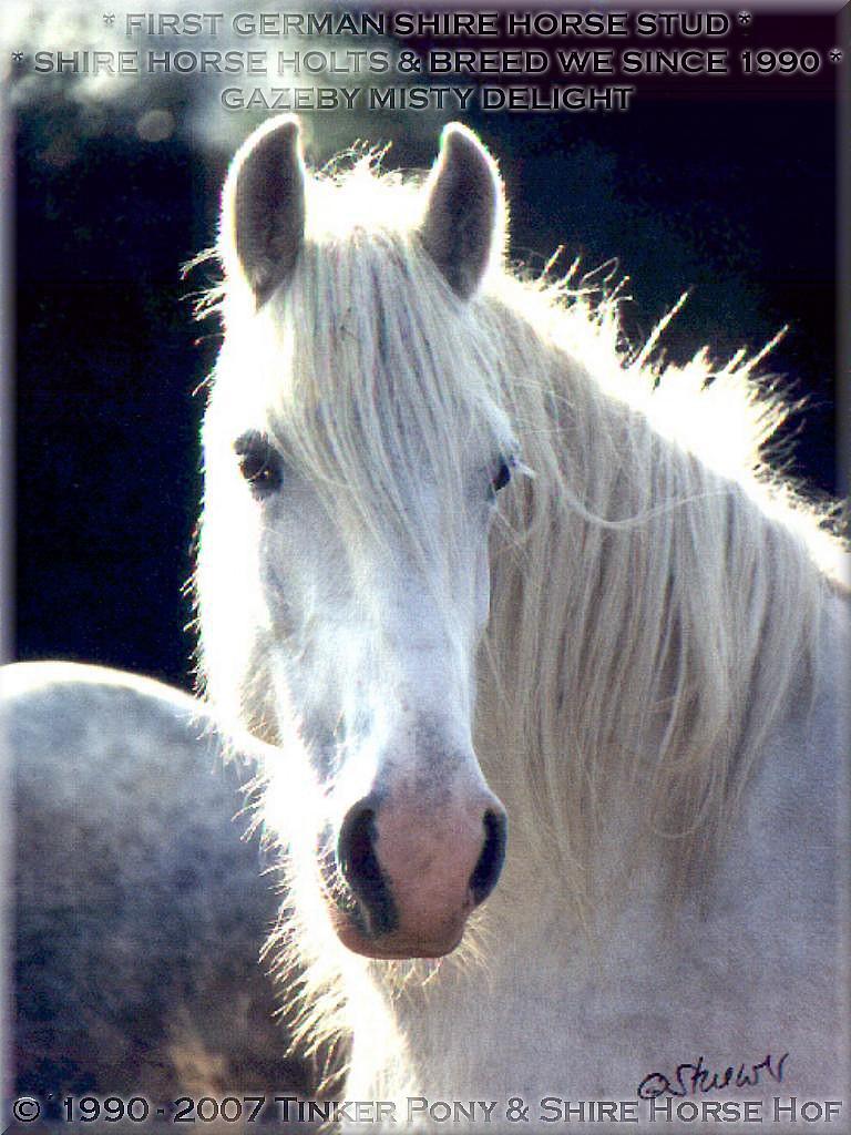 Herzlich Willkommen auf dem Tinker Pony & Shire Horse Hof - Meine 2. rein weiße <b>Shire Horse Zuchtstute</b> GAZEBY MISTY DELIGHT - die Mutter von SUNSHINE - im Mai 1997 - im Pferdeparadies des Rittergutes Lehrbach.