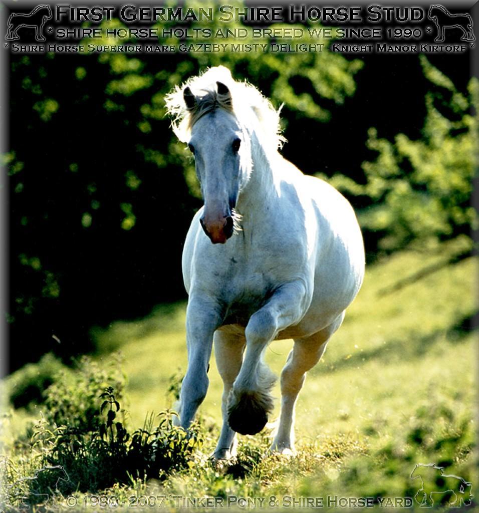 Herzlich Willkommen auf dem Tinker Pony & Shire Horse Hof - Meine 2. rein wei�e Shire Horse Zuchtstute GAZEBY MISTY DELIGHT - die Mutter von SUNSHINE - im Mai 1997 - im Pferdeparadies des Rittergutes Lehrbach.