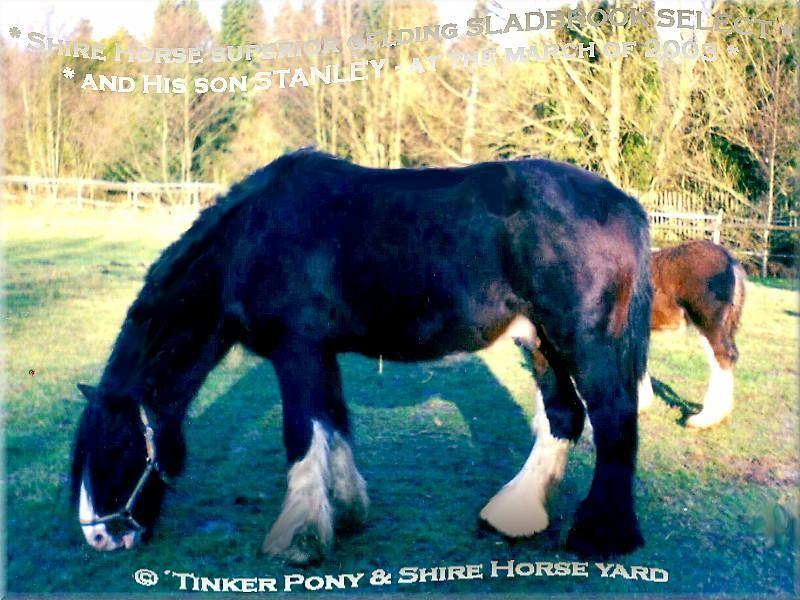 Heartily welcome on the former Gypsy Cob and Shire Horse yard. - Shire Horse Wallach Sladbrook Select und sein vorletzter Sohn Kraemers Muehle Stanley im März 2003 auf der Winterweide, im Pferdeparadies der Weils Muehle - in Kirtorf.