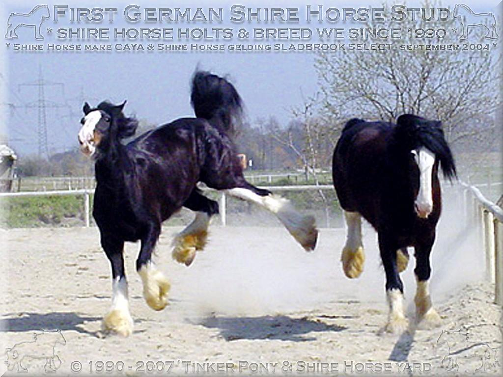 Heartily welcome on the former Gypsy Cob and Shire Horse yard- Hallo Shire Fans - so rein privat - als Wallach - hat man es auch nicht immer leicht!