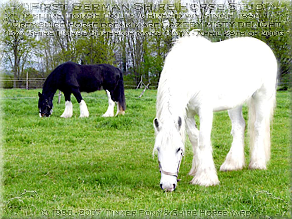 Herzlich Willkommen auf dem Tinker Pony & Shire Horse Hof - Meine ehemals 2. rein wei�e Shire Horse Zuchtstute GAZEBY MISTY DELIGHT - die Mutter von SUNSHINE - am 28. April 2005 - im Pferdeparadies der neuen Besitzer, in S�d-Baden.
