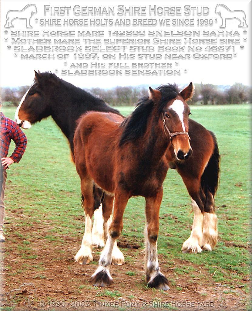 Die Shire Horse Zuchtstute Snelson Sahra, die 189 cm große Mutter von Sladbrook Select und Ihr aktuell sehr berühmter Sohn Sladbrook Sensation, als Saugfohlen im März 1997 in der Nähe von Oxford.
