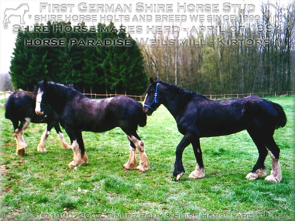 Heartily welcome on the former Gypsy Cob and Shire Horse yard. - Eine meiner Shire Horse Stuten Herde, auf einer der zahllosen Weiden, des Pferdeparadieses der Weils Glänzer Mühle in Kirtorf, im April 1994.