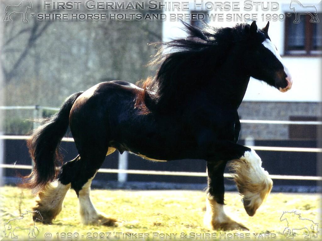 Herzlich Willkommen auf dem Tinker Pony & Shire Horse Hof - Shire Horse Grand & Premium Zuchthengst Stanley House Nulli Secundus - Shire Horse Zuchtgestüt im Pferdeparadies des Rittergut Lehrbach - im August 1996