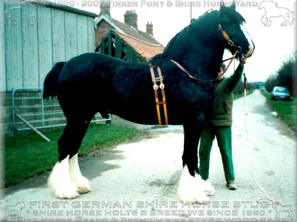 Mein zweiter <b>Shire Horse Zuchthengst</b>, der unvergleichliche Grand und Premium Shire Horse sire Stype Wood earl - Stud book no 46295, im März 1995 auf der Farm seines Züchters, in England.Schönes Photo? Die ganzjährigen Haltungskosten - PRO ELTERZUCHTPFERD - belaufen sich im Jahr 2005 - auf 5.000,00 Euro!