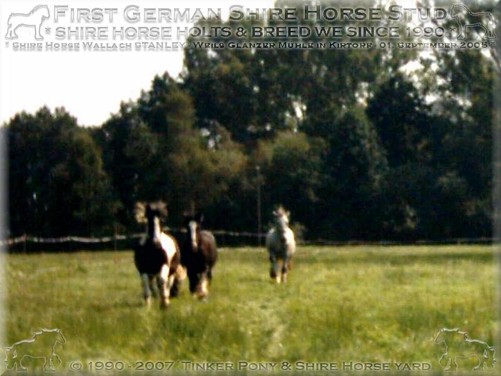 Herzlich Willkommen im Tinker Pony und Shire Horse Hof - Shire Horse Hengst KRAEMERS MUEHLE SUNSHINE