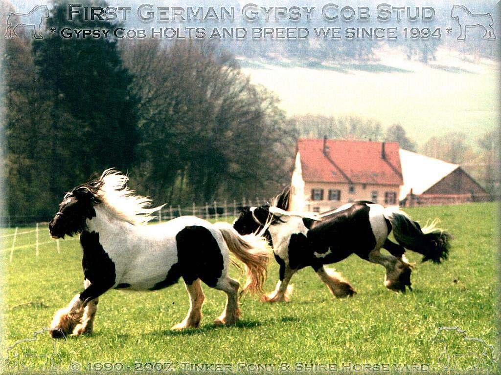Heartily welcome on the former Gypsy Cob and Shire Horse yard. - Shire Horse, Shire Horse Herkunft, Shire Horse Zucht, Shire Horse Haltung, Shire Horse zuechten wir seit 1990.