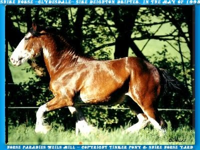 In the Slideshow you can yourself, with 4 photo of the may of 1998, a picture of the unique Shire Horse sire Deighton Drifter does