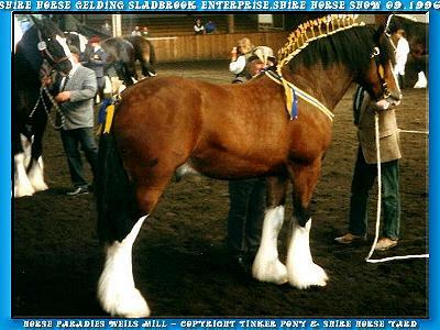 In der Slideshow können Sie sich, mit 27 Photos von Juni 1996 bis September 1996, ein Bild von dem ehemaligen Shire Horse Wallach KRAEMERS MUEHLE ENTERPRISE machen.