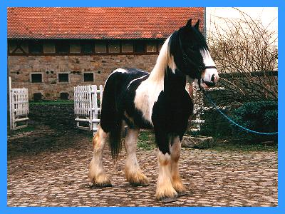 We offer to you, exclusively, out of the best breeding-results of the 12- years agricultural Gypsy Cob - Irish Tinker - breeding, character-solid, reliable, healthy Gypsy Cob - Irish Tinker, that without fear still full trust to persons has.