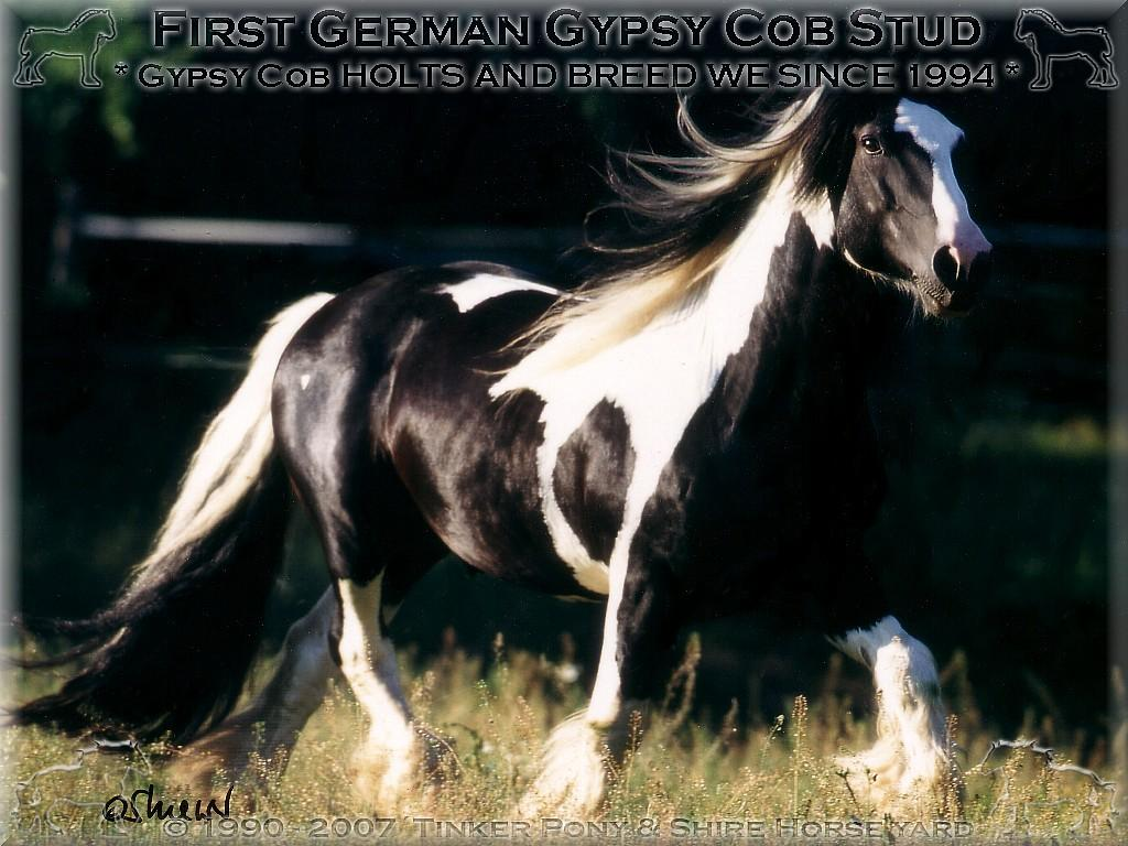 Shire Horse Yard, Shire Horse stand, Shire Horse Breeding - Heartily welcome on the former Gypsy Cob and Shire Horse yard. - Shire Horse Grand & Premium Sire Stanley House Nulli Secundus - Shire Horse studfarm into the horse-paradise of the knight manor Lehrbach - April 1997