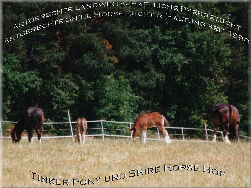 Tinker pony and Shire Horse yard, Slideshow with 302 photo of August of 1990 until August of 2004