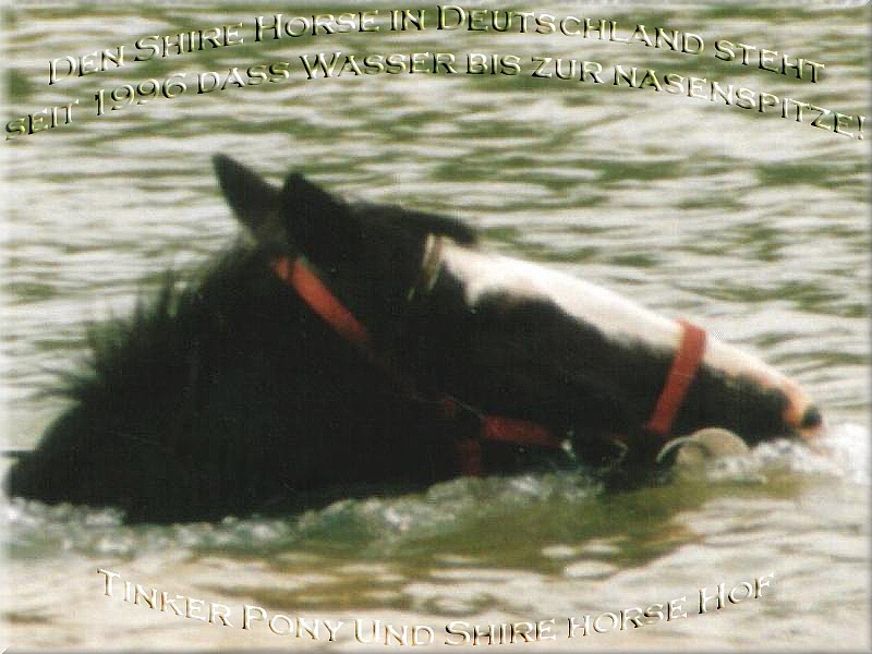 Shire Horse, Shire Horse Hof, Shire Horse Haltung, Shire Horse Zucht seit 1990 - Heartily welcome on the former Gypsy Cob and Shire Horse yard - Shire Horse Stute Admergill Diamond im Juli 1997 beim Baden - Shire Horse Zuchtgestuet, im Rittergut Lehrbach
