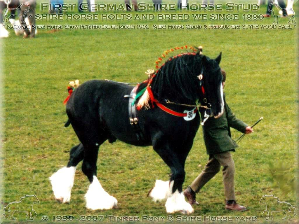 Shire Horse Sire Stype Wood Earl, Peterbourogh March 1992